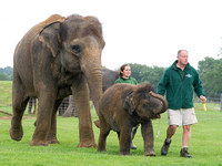 Sam the Baby Asian Elephant  556