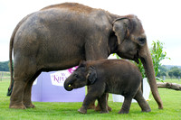 Sam the Baby Asian Elephant  561