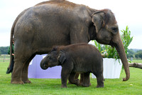 Sam the Baby Asian Elephant  562